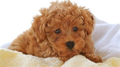 brown puppy brown fluffy dogs www pixshark images galleries with a bite
