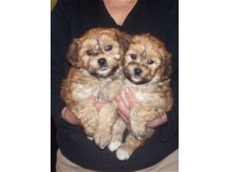 yorkie puppies for sale in chicago area bichon frise puppies in illinois
