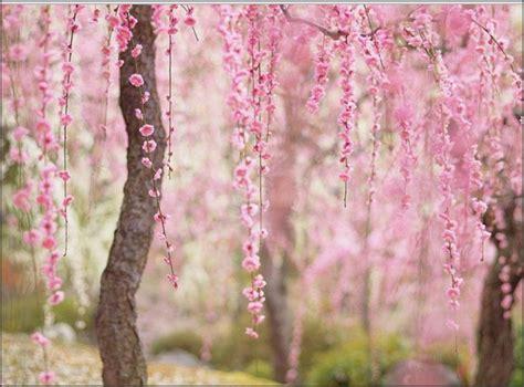 wallpaper daun sakura foto indahnya bunga sakura di jepang