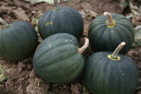 Table Squash by Squash Table Vegetable Seeds Seeds Seeds