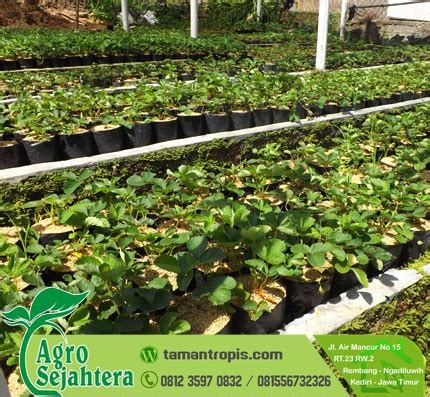 Jual Bibit Tanaman Strawberry jual bibit stawberry