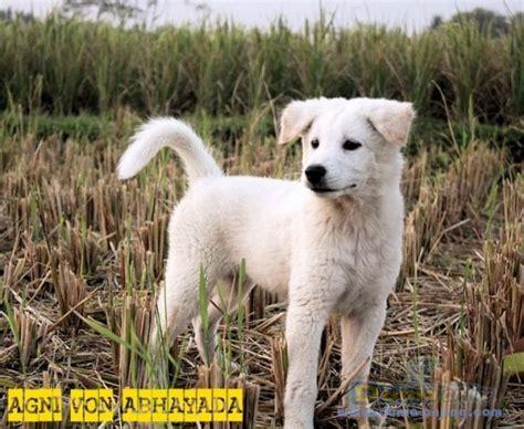 Anjing Kintamani Bali dunia anjing jual anjing kintamani wts anjing