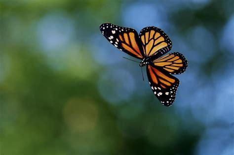 imagenes de mariposas en vuelo duelo de mariposas el valle de 211 nar