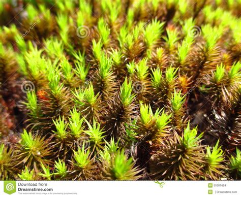 moss like plant stock photo image 55387464
