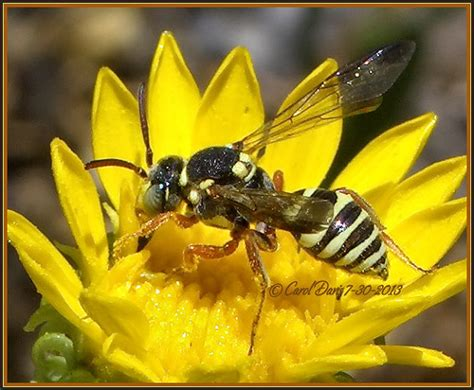 Beautiful Flower Images Cuckoo Bee Nomada Vegana Species Group On Antelope