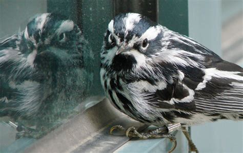 aou thursday hope for solving bird collisions all about