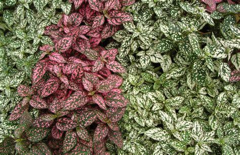 pink foliage plants hypostes polka dot plant tropical foliage plants inc