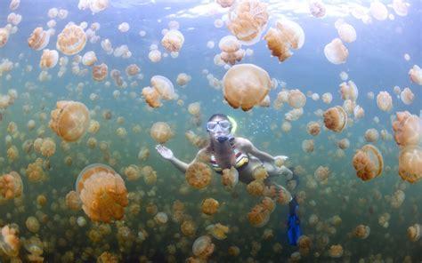 L Jellyfish by Jellyfish Lake Why Is The Ongeim L Tketau Lake Of