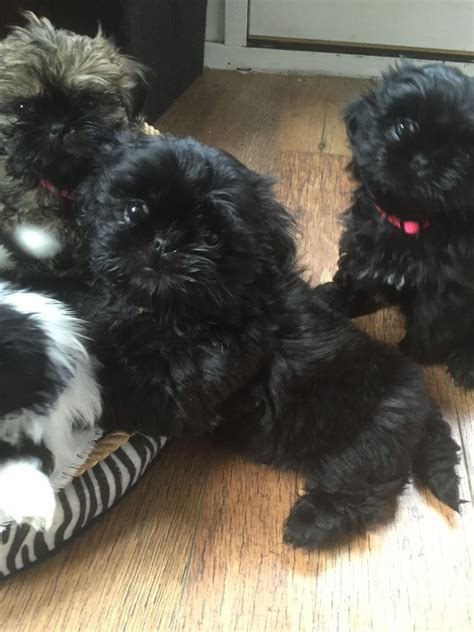 shih tzu puppies for sale in sheffield shih tzu puppies sheffield south pets4homes