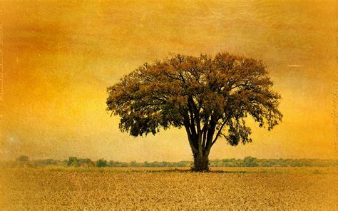 great tree field golden sunset wallpapers great tree