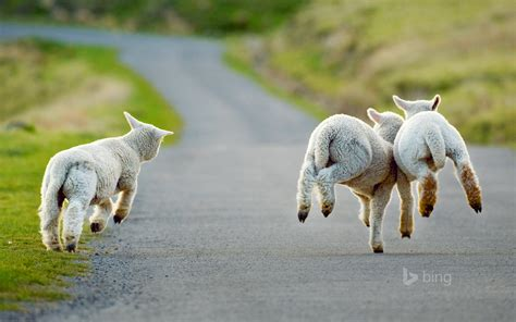 new year sheep wallpaper saturday is phoblog day and