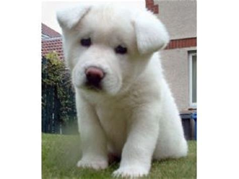 puppies albany ny small breed non shedding puppies puppy for sale in albany ny breeds picture
