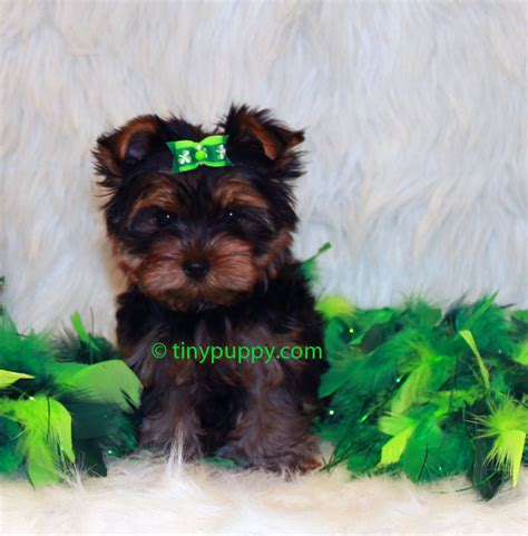 yorkie puppy cut yorkie puppy cut cake ideas and designs