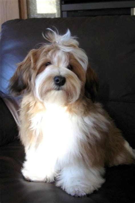 when is a havanese grown home simplysweethavanese