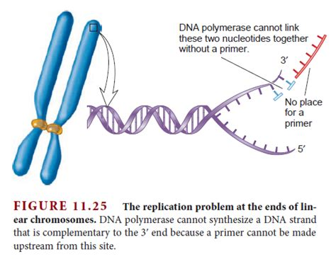 each human chromosome is replicated in about sections dna replication of eukaryotes