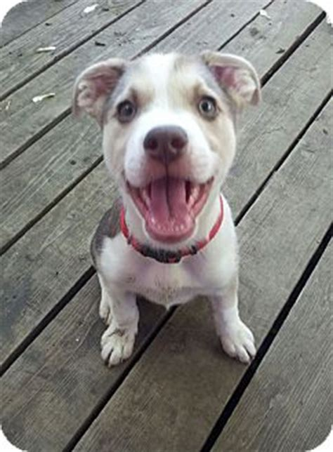 husky puppies tulsa tulsa ok husky american bulldog mix meet a puppy for adoption