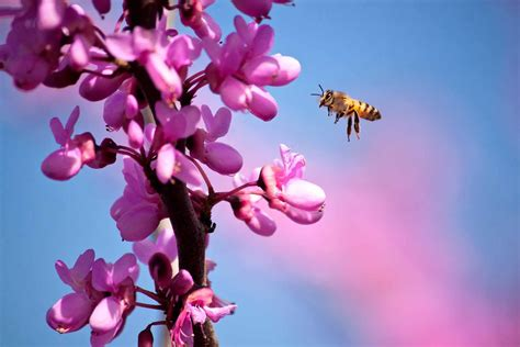 purple flower with bee wallpaper desktop spring bee hd wallpapers hd wallpapers pics