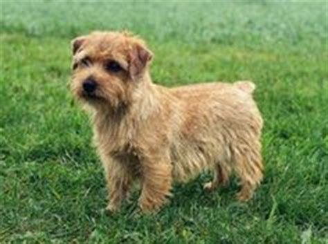 Do Norfolk Terriers Shed by 1000 Images About Favorite Breeds On Dogs