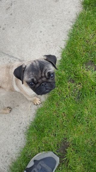 pugs for sale in leeds 7 month pedigree pug for sale leeds west pets4homes