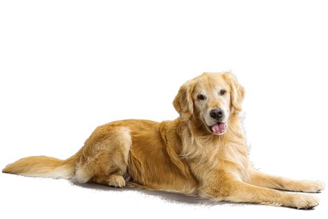 golden retriever and golden retriever hair2014
