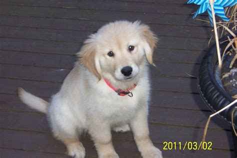 golden retrievers for sale ontario golden retriever pup for sale 2weeks 004 puppies for sale dogs for sale in ontario