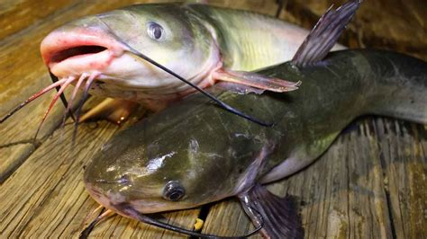 How Catfish Finds How To Catch Catfish How To Cook Catfish How To Clean Catfish