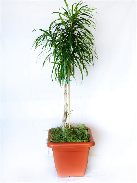 dracaena anita care metropolitan wholesale
