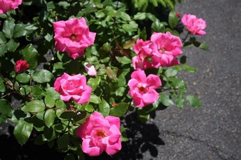 deadheading knockout roses 17 best images about shrubs on white flowers