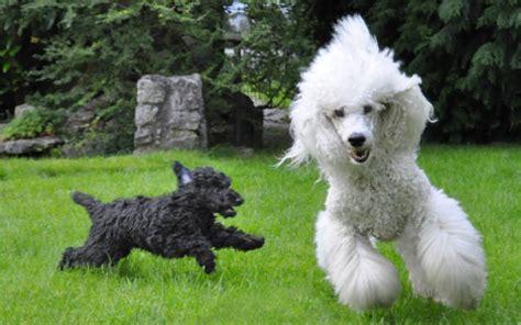 doodle züchter deutschland pudel elterntier doodle hund doodle hunderassen
