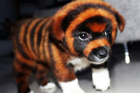 tiger puppy the cruelty these looking tiger dogs new york post