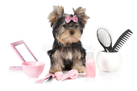 yorkie hair products terrier with grooming products stock photo image 67972009