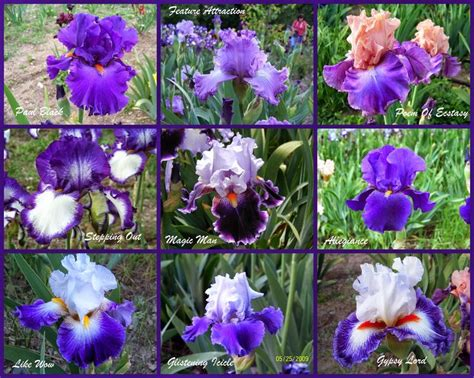 some purple iris iris pinterest