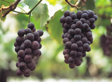 grapes planting growing and harvesting grape vines