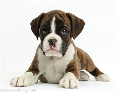 8 week boxer puppy boxer puppy 8 weeks lying with up photo wp38163