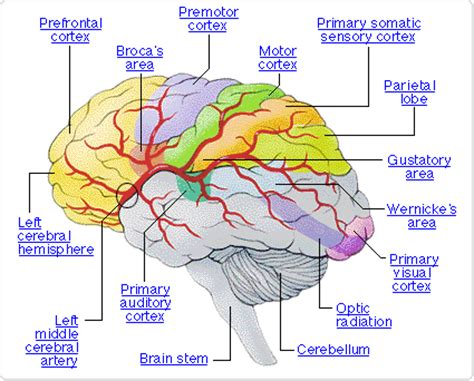 the brain sections tantra psychology quantum mind october 2013