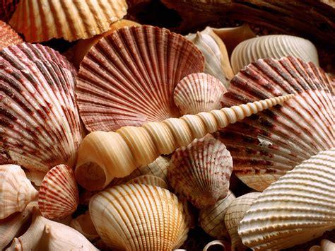 shell wallpaper sea shells wallpapers hd wallpapers