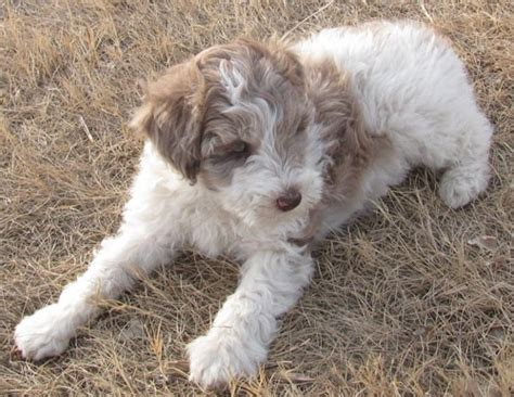 mini aussiedoodle discover and save creative ideas
