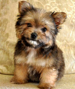 yorkie and pomeranian mix puppies for sale tiny porkie prince pomeranian yorkie he is looks like a teddy