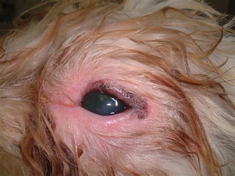 shih tzu conjunctivitis other health conditions shih tzu s by elaine