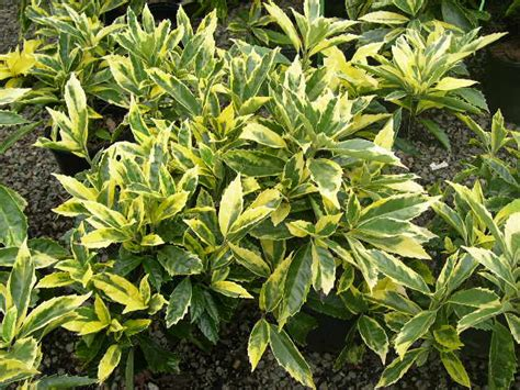 10 best small evergreen shrubs flowering and foliage enkivillage