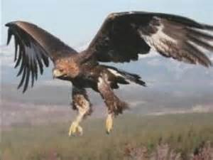 Ranking de las 10 aves de presa mas poderosas del mundo listas