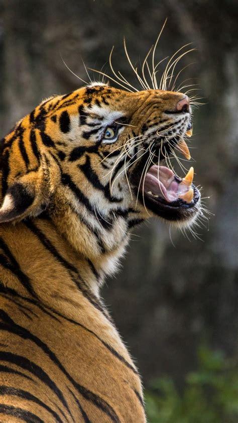 wallpaper angry tiger muzzle predator animals