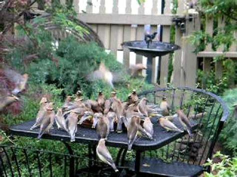 Cady Cottage Hermann Mo by Cedar Waxwing Feeding Frenzy Mov
