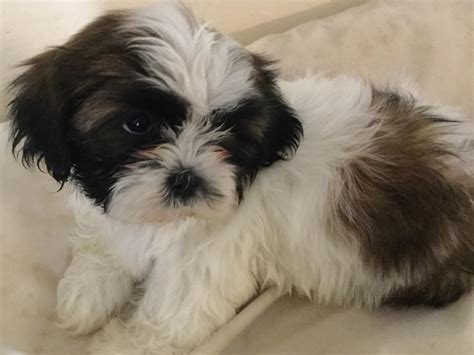 shih tzu breeders in florida shih tzu puppies breeders orlando fl
