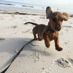 Puppies In Best 25 Sausage Dogs Ideas On Sausage