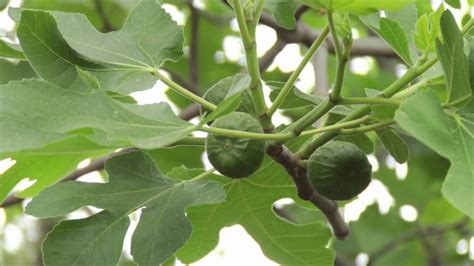 the fruiting fig tree profile prune like a pro doovi - Fruiting Fig Tree