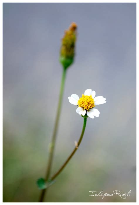 Bunga Dandelion 1 why don t you stay by indryana on deviantart