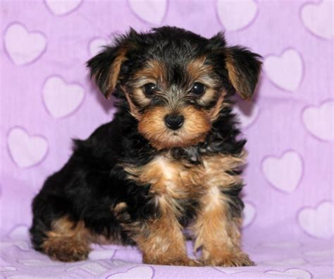 free yorkie puppies craigslist well socialized yorkie puppies craigspets