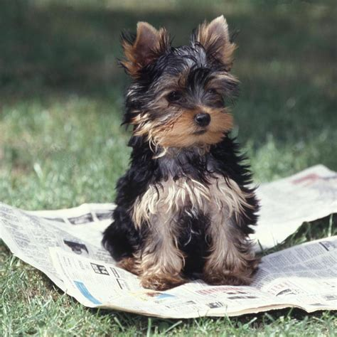 best way to house a yorkie what is the best way to house a with pictures
