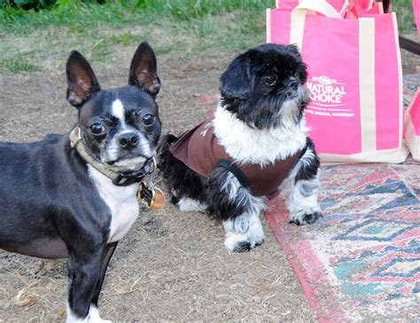 boston terrier and shih tzu shaymus and nigel guard the nutro goody bags same shih tzu different day
